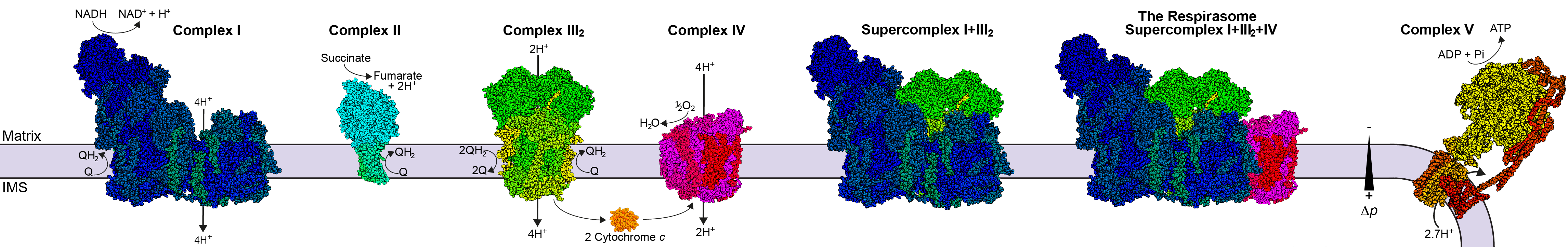Laboratory of Electron Transport Membrane Proteins and Structural Bioenergetics